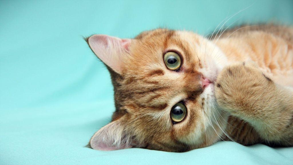 Симптомы и лечение хламидиоза у кошек