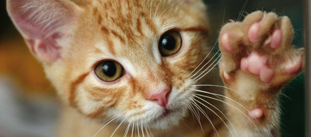 Основные симптомы и лечение вирусного иммунодефицита у кошек