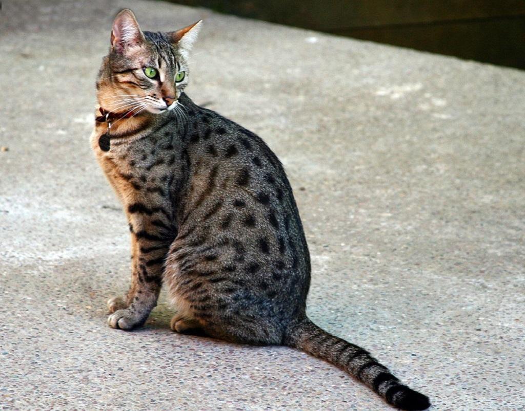 Кошка Египетская Мау