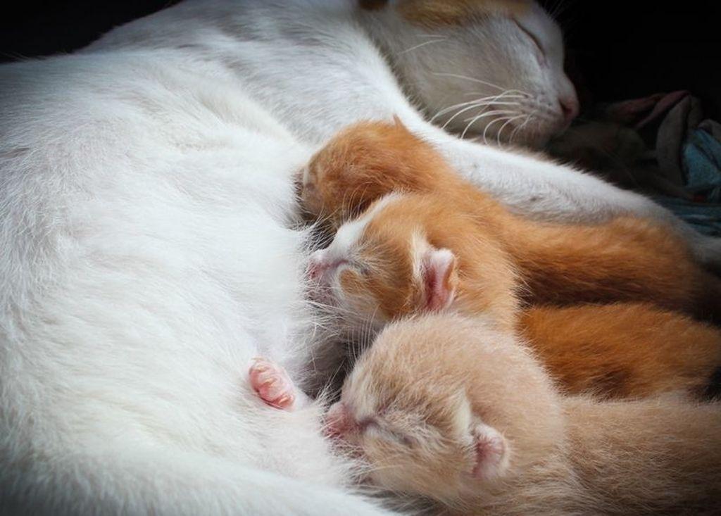 Послеродовая эклампсия кошки