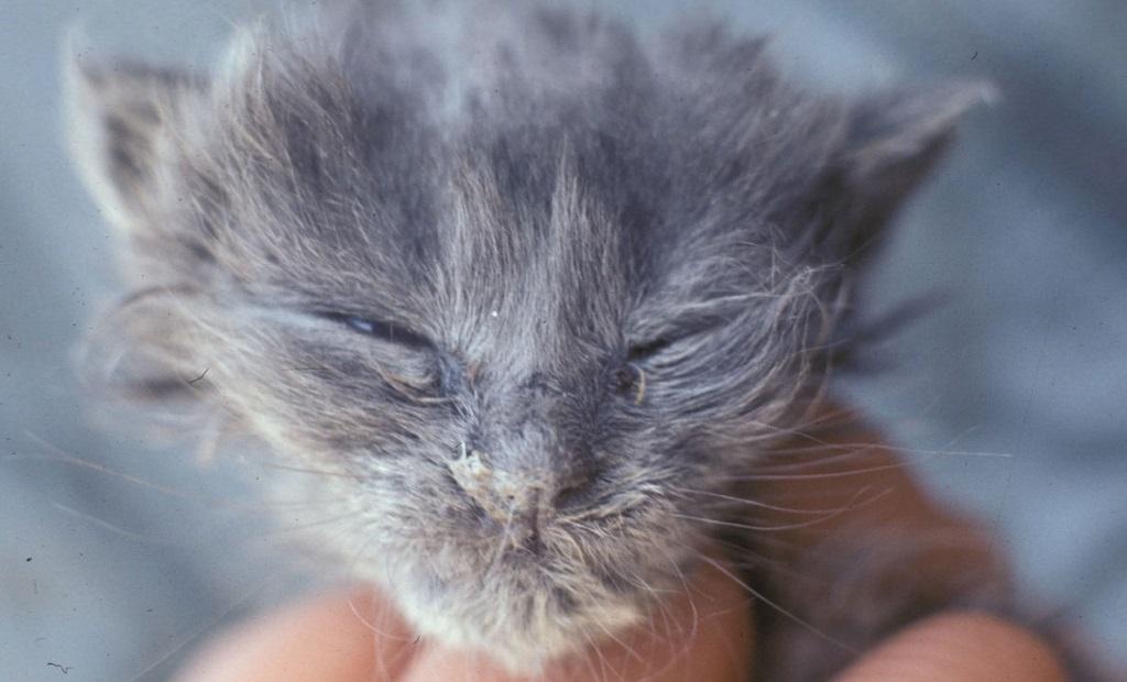 Для маленьких котят ринотрахеит представляет наибольшую опасность