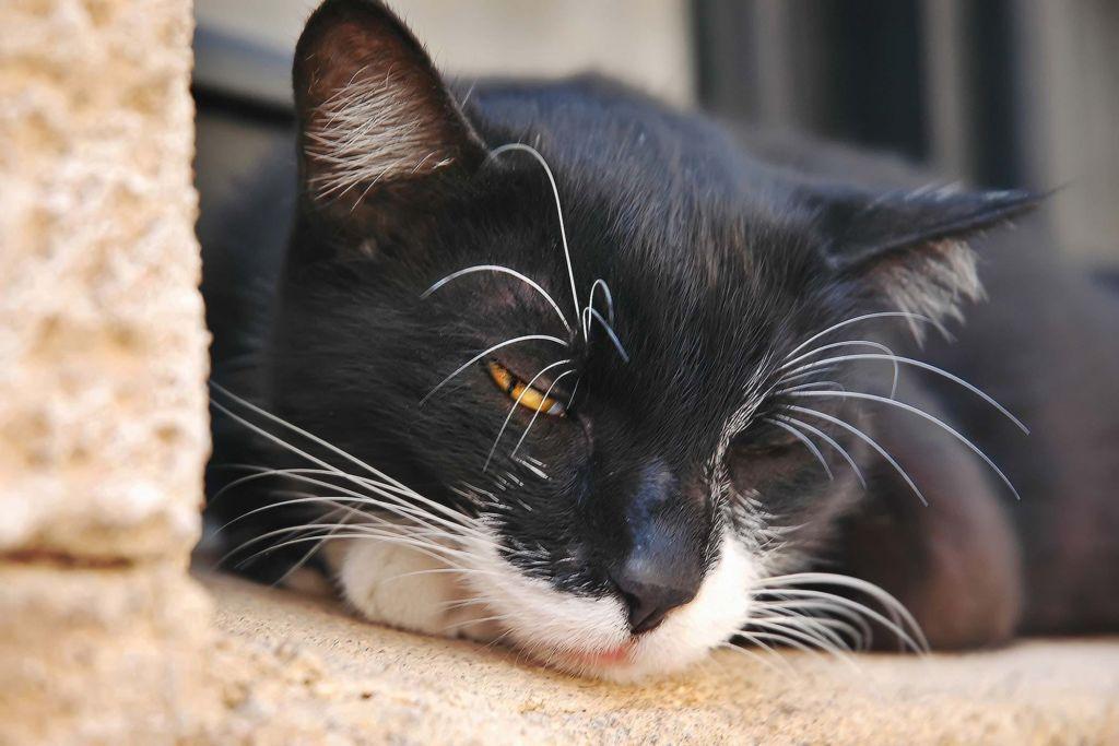 Симптомы и лечение коронавирусной инфекции у кошек