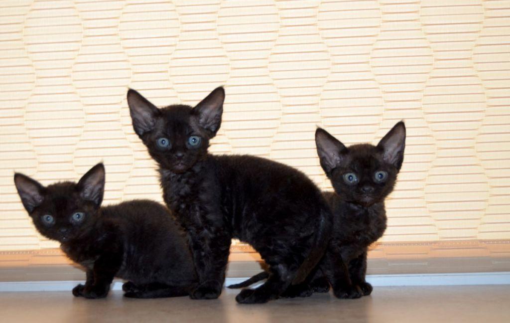Черные котята девон-рекса