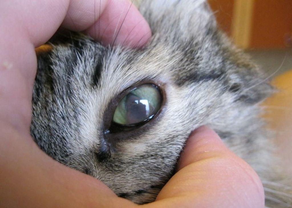 Поликистоз почек у кота чем лечить