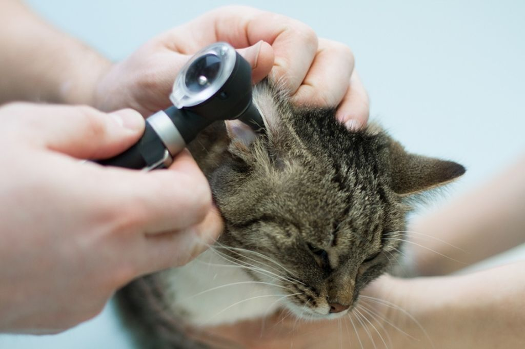 При внутреннем отите помочь питомцу сможет только ветеринар
