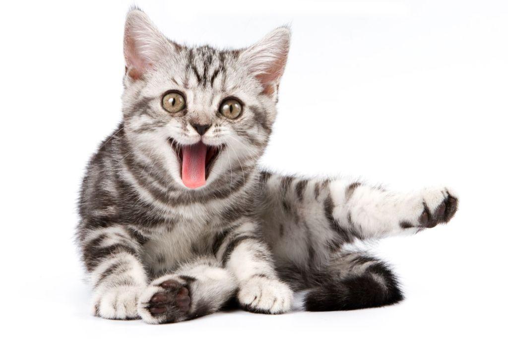 Главные симптомы и лечение геморроя у кота
