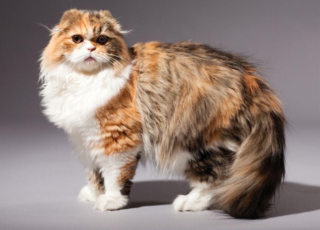 Подробное описание породы кошек хайленд фолд (шотландская вислоухая длинношерстная)