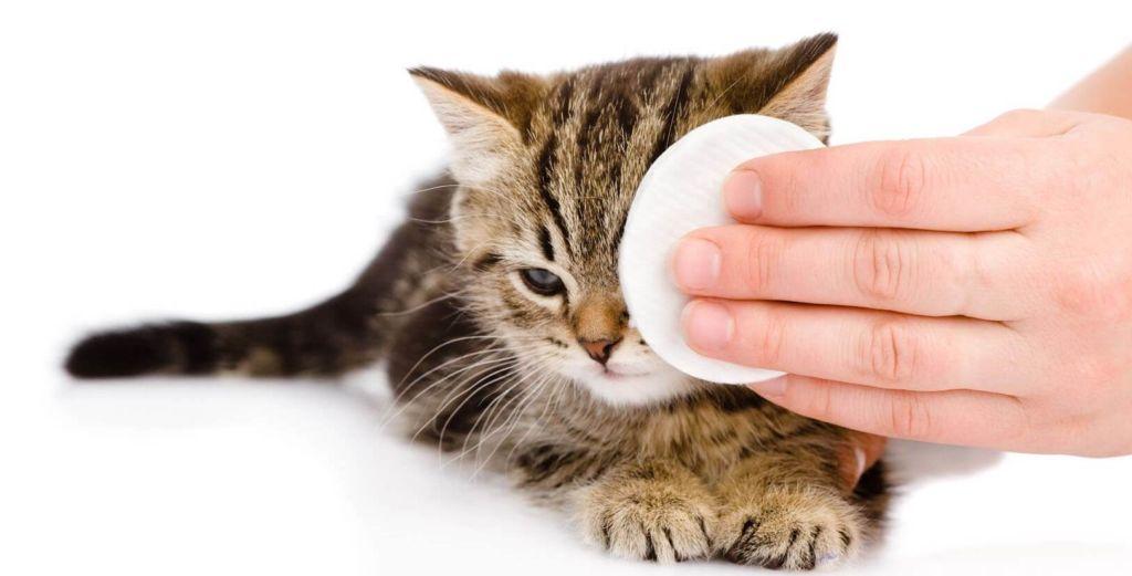 У котенка гноятся глаза, причины и чем лечить в домашних условиях
