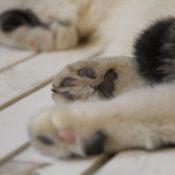 Что делать если кот хромает на переднюю или заднюю лапу