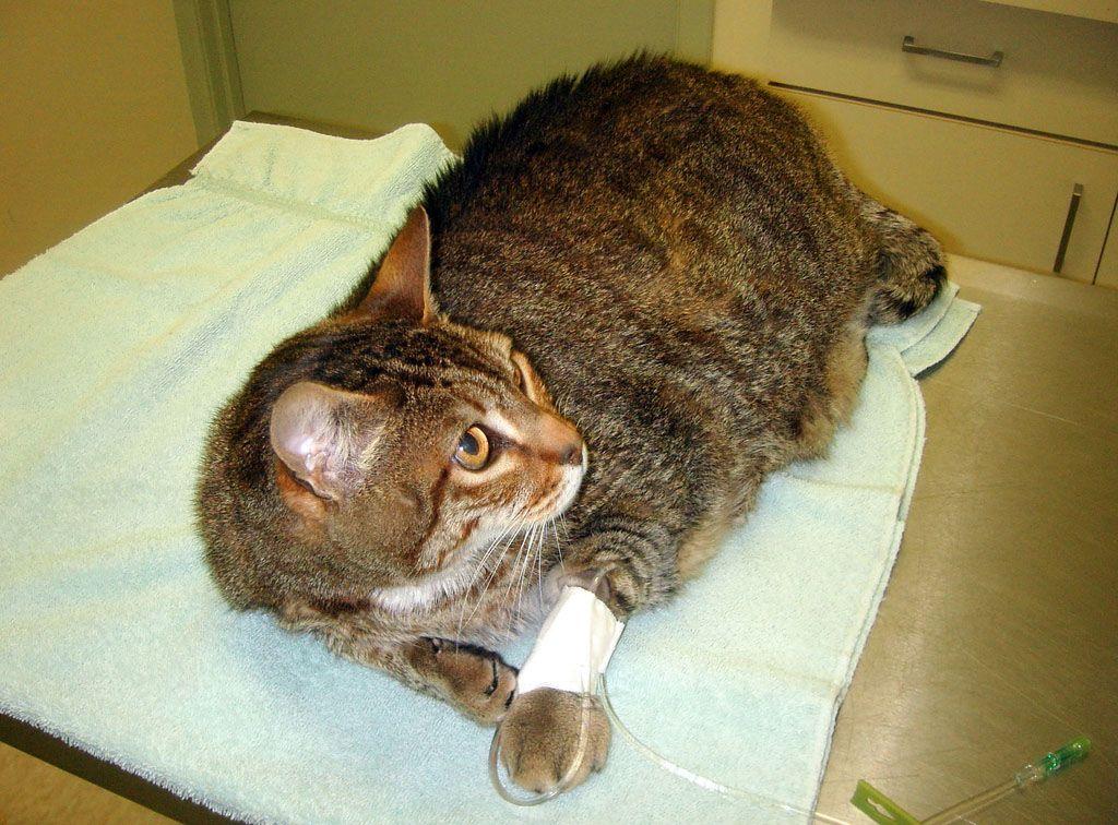При подозрении на перелом нужно зафиксировать лапу и отвезти кошку к ветеринару