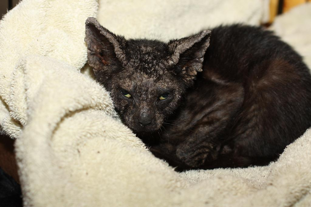 Нотоэдроз у черной кошки