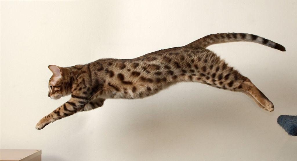 Кошки при прыжке знают четко расстояние до предмета
