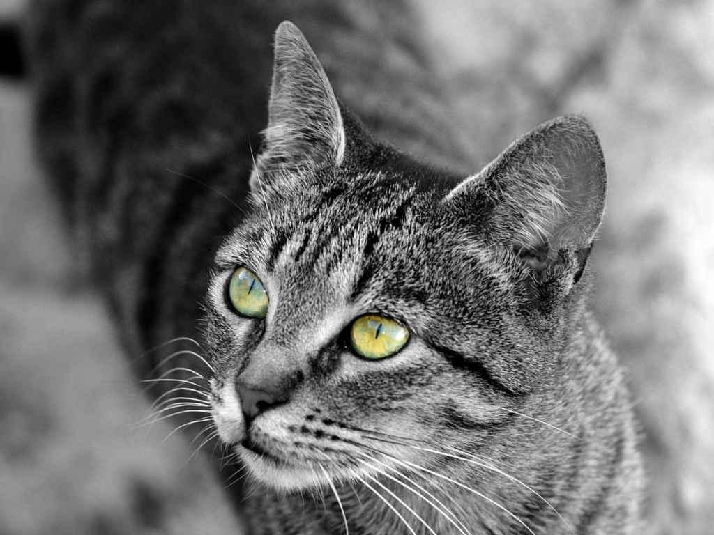 Для беспородных кошек цвет глаз не имеет значения, но в ситуации с некоторыми животными брид- и шоу-класса он играет чуть ли не определяющую роль