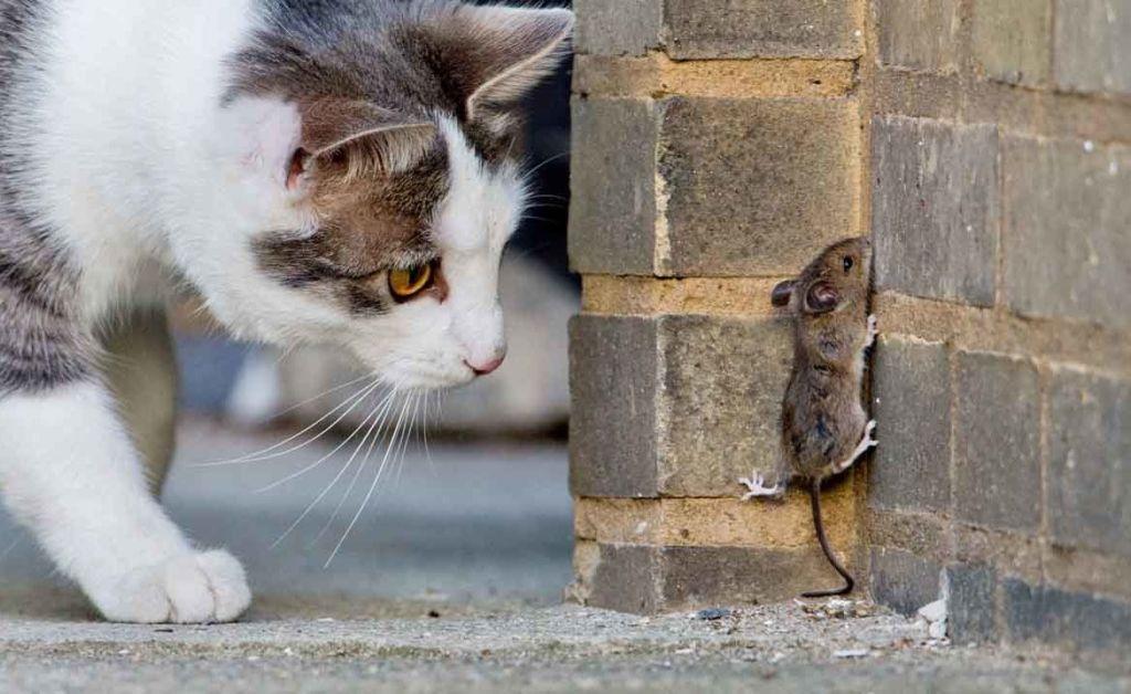С помощью усов кошка контролирует жертву, когда удерживает ее в зубах