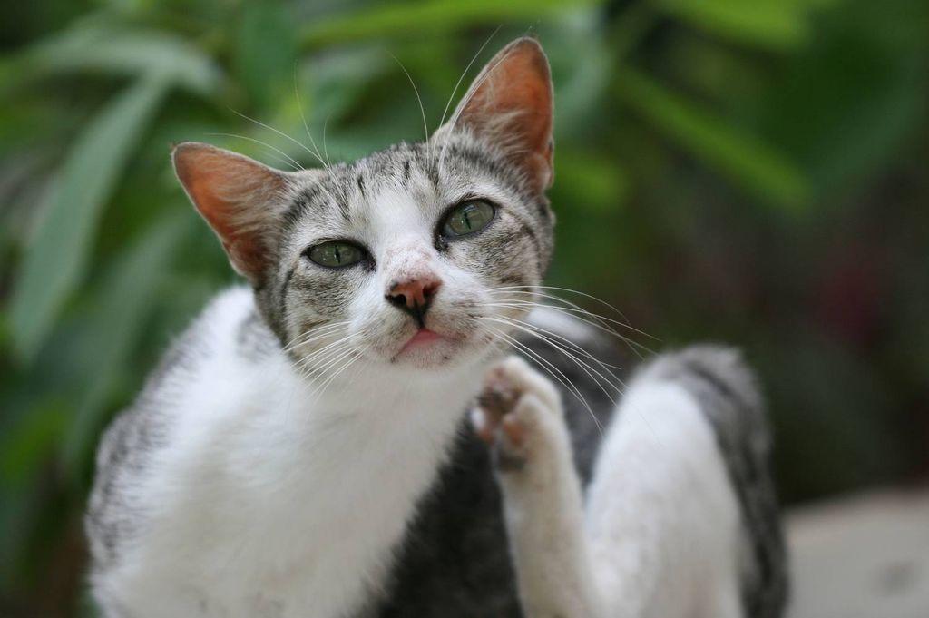 Если клещ нападет на кошку, то она будет пытаться его вытащить