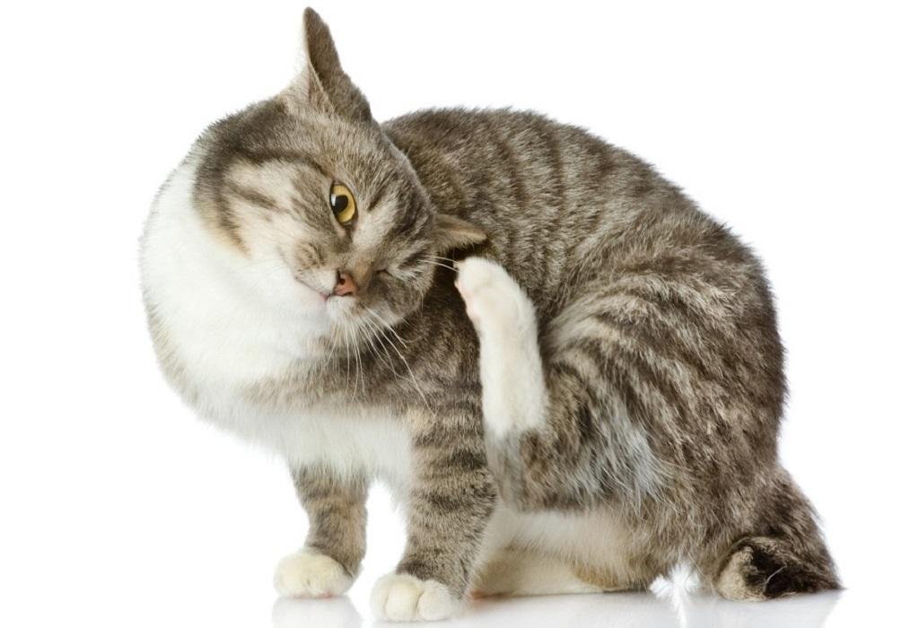 Паразитирует подкожный клещ в основном на животе, шее, ушах, морде и хвосте питомца