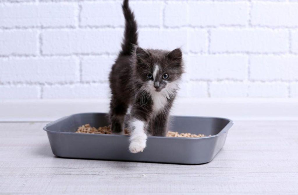Начинайте приучать котенка к лотку в возрасте в 1-1,5 месяца
