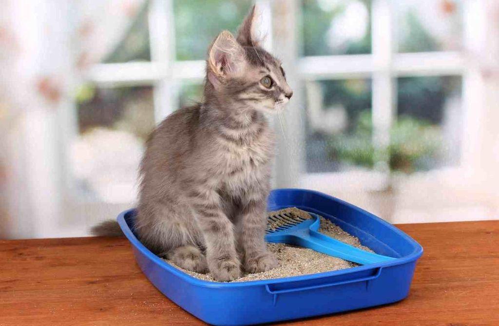 С первых дней котенку понадобится лоток с наполнителем