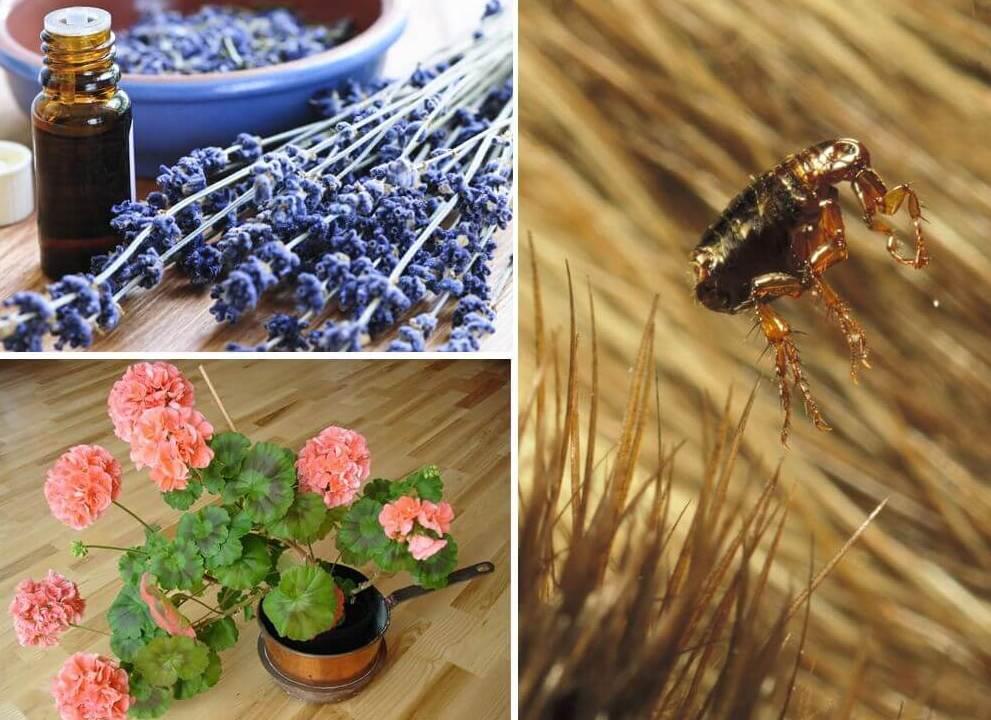 Народные средства в борьбе с паразитами, герань и лаванда