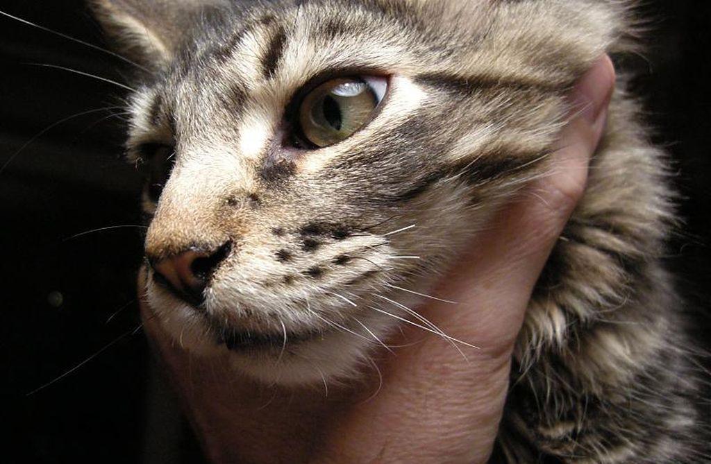 Ломание усов у кошек может быть следствием аллергии или грибка