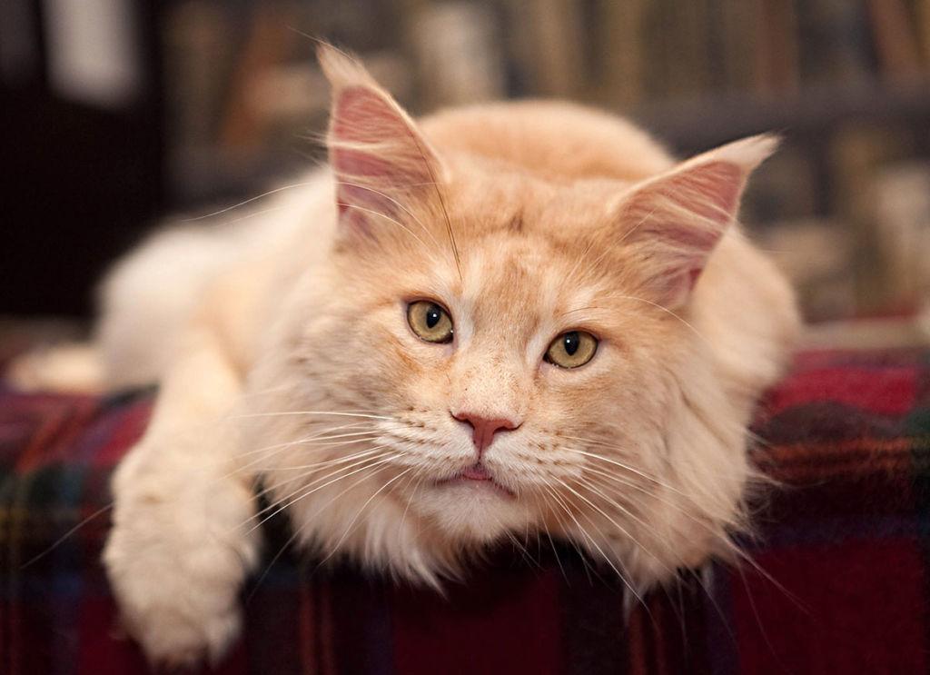 Важная отличительная черта породы мейн-кун – вес животных, который составляет от 6 до 12 кг