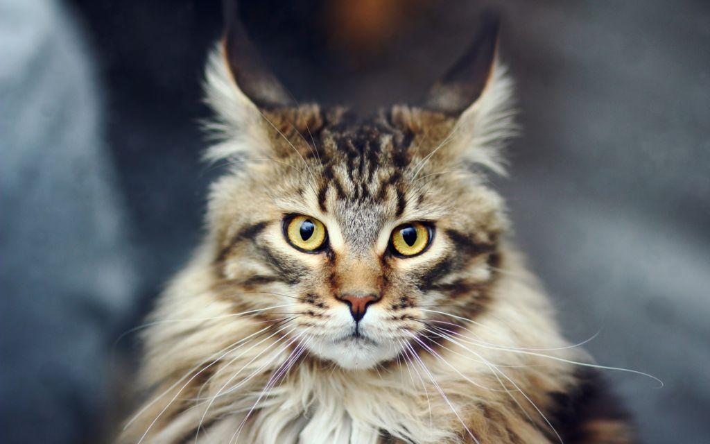 Подробное описание породы кошек мейн-кун
