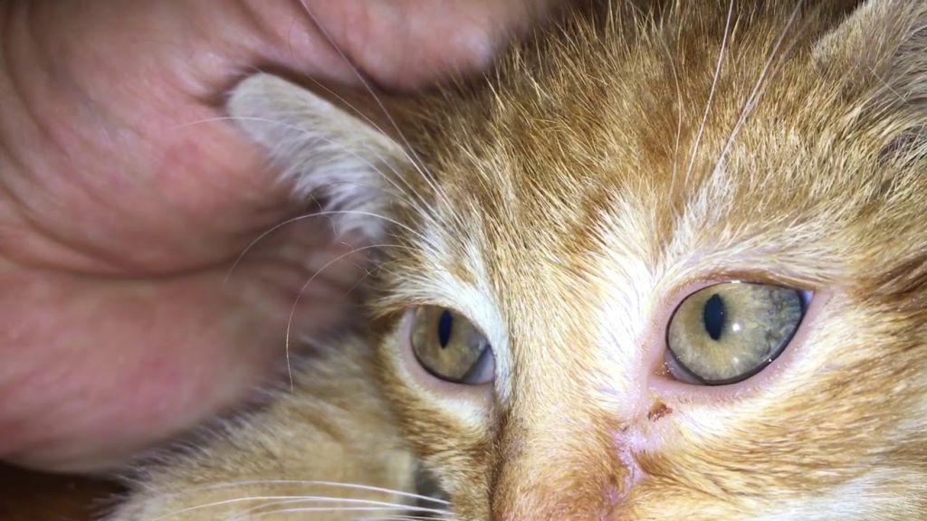 Симптомы и лечение микоплазмоза у кошек