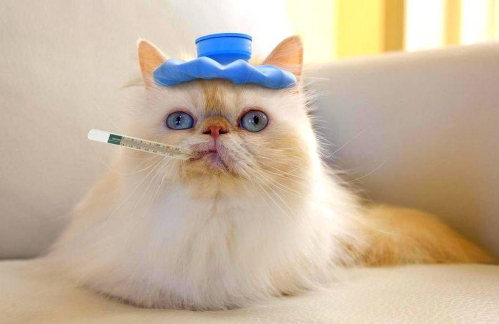 Показатели нормальной температуры у кошек