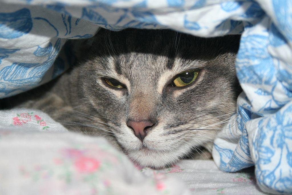 Самый простой способ поднять температуру кошки - укутать ее одеялом