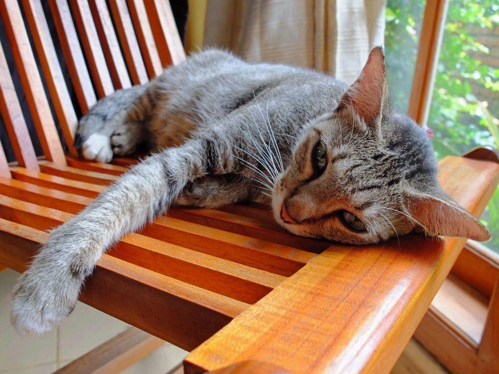 Вялость кошки может говорить об ухудшении здоровья животного