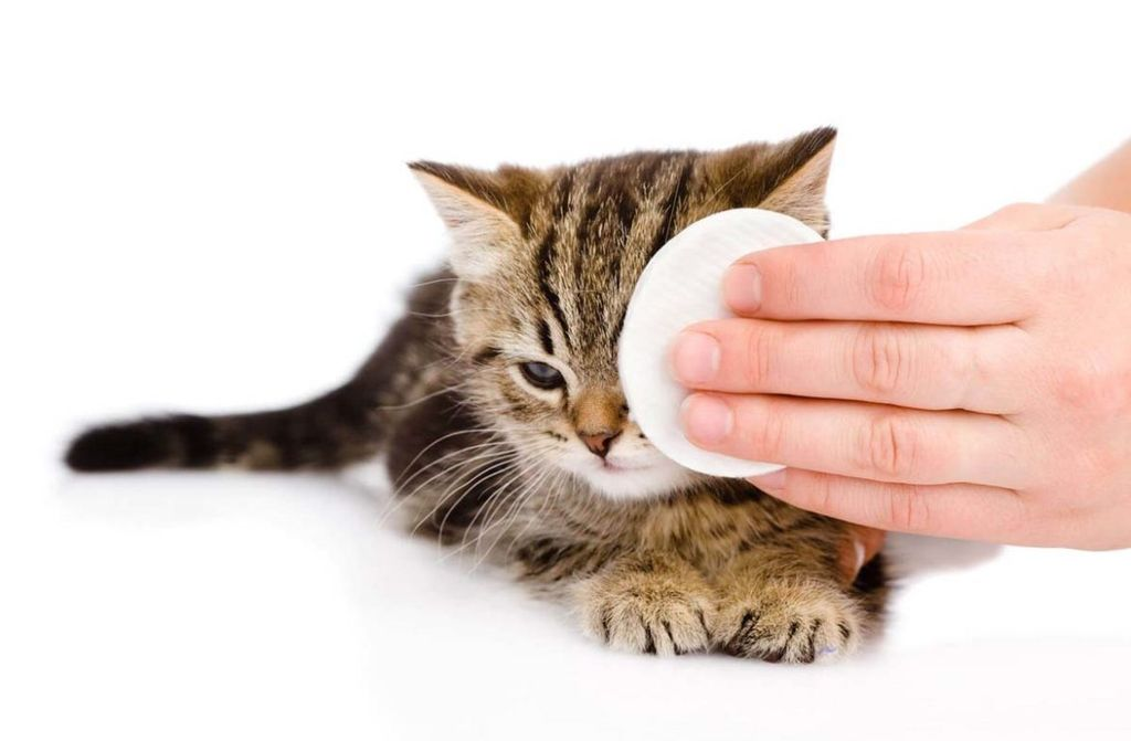 При коньюктивите котятам необходимо протирать глазки