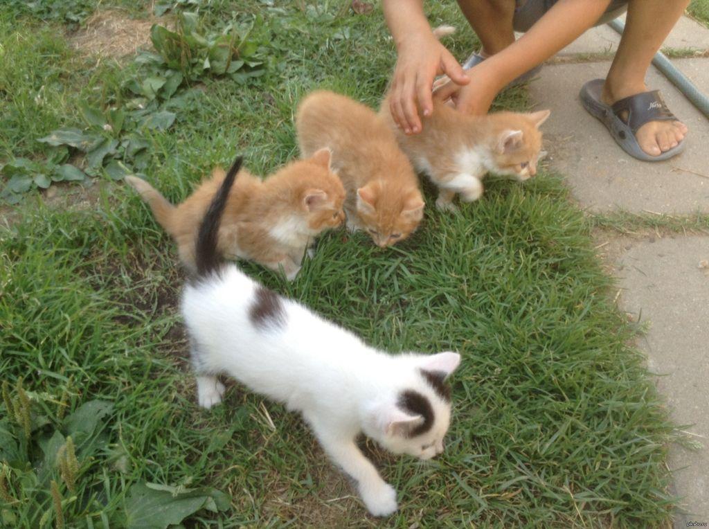 Малышей забирают от кошки и начинают раздавать на 6 или 8 неделе