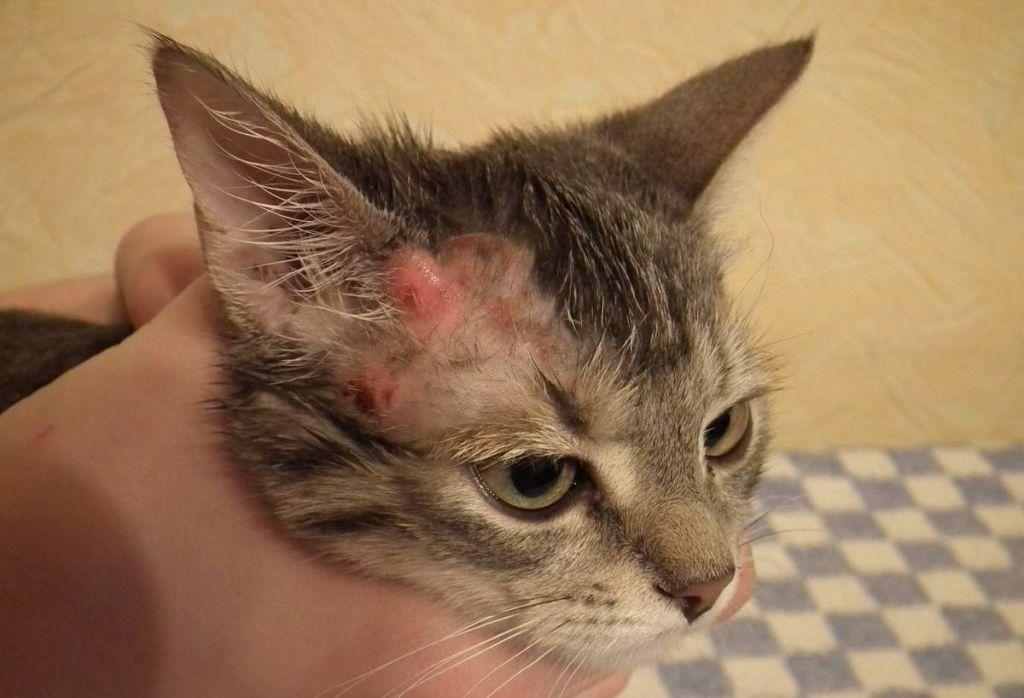 5 причин, почему кошка чешется до болячек на шее и лижется, но блох у нее нет