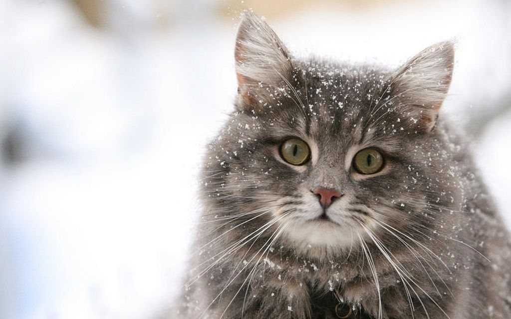 Как избавиться от перхоти у кошек