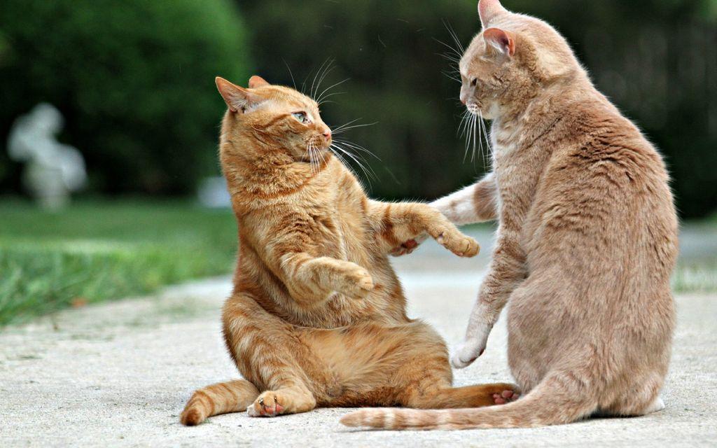 Агрессия самца чаще всего направлена на некастрированных котов
