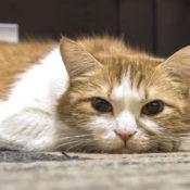 Симптомы и лечение пакреатита у кошек в домашних условиях