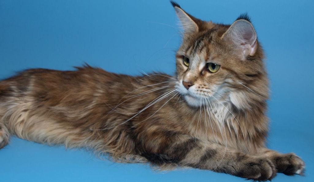 Стать владельцем котенка мейн-куна достаточно дорогое удовольствие