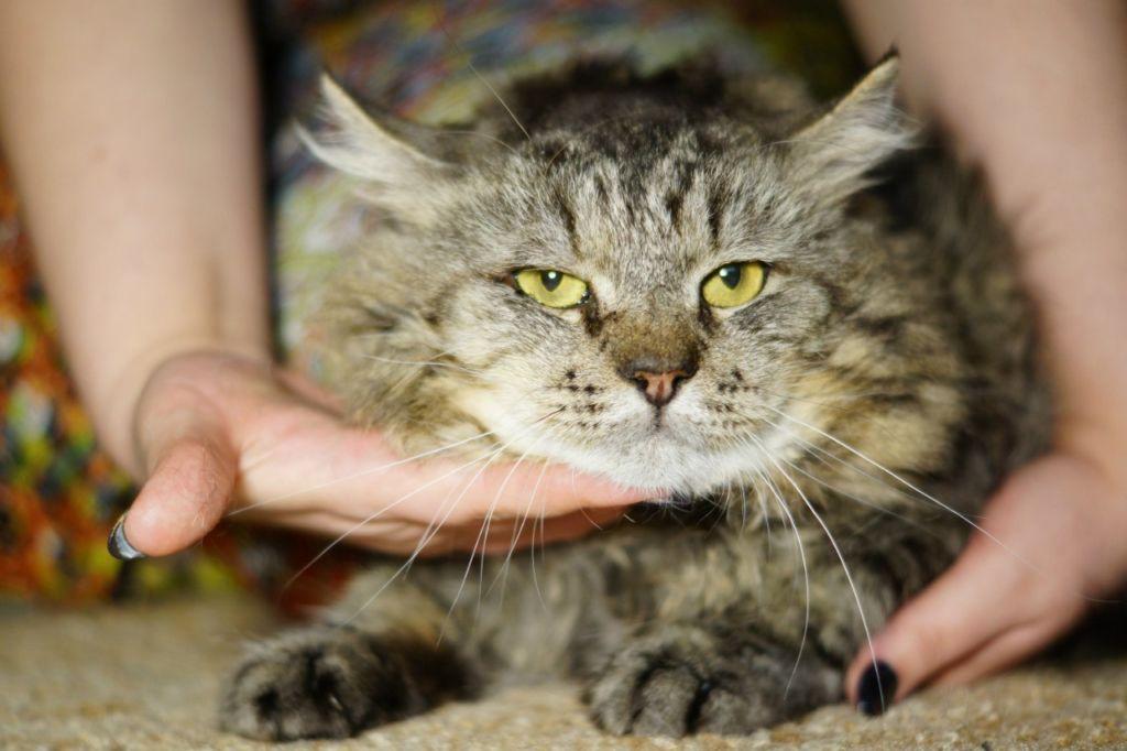 Для здоровья человека вирус кошачьего иммунодефицита опасности не представляет