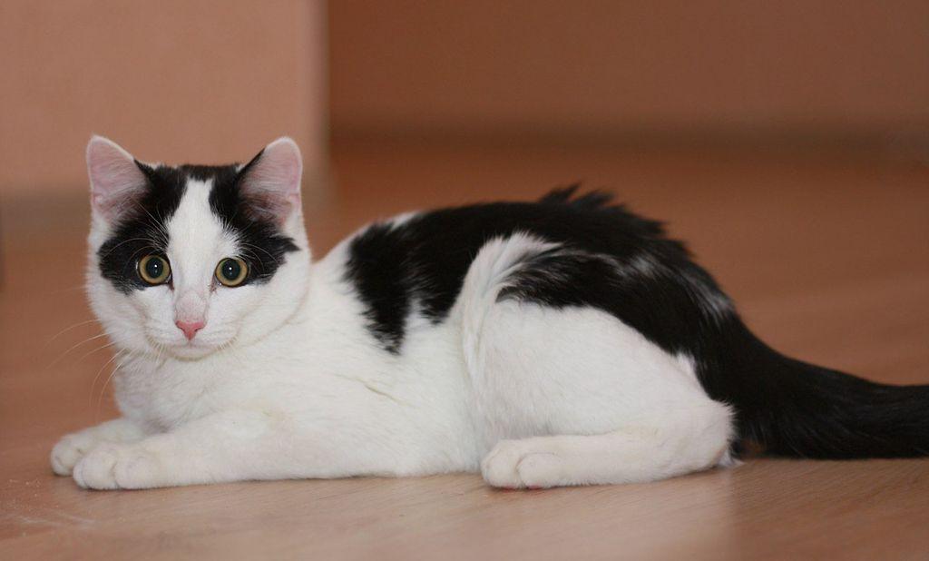 Оптимальный возраст котенка для разведения - 3-6 месяцев