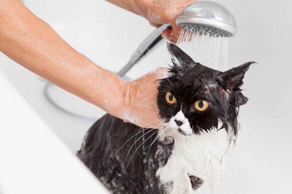 Частое мытье кошки с шампунями приводит к тому, что с кожи смывается защитный жировой слой