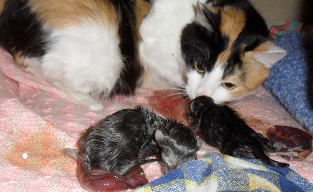 Родившиеся котята иногда не могут самостоятельно добраться до соска, другие теряют ориентацию и плачут.
