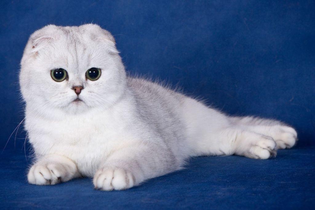 Обязательные прививки котенку скоттиш фолд и календарь вакцинации