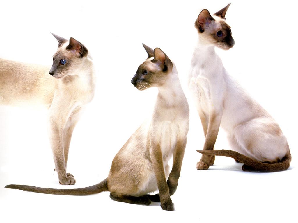 Внешность кошек зависит от набора хромосом