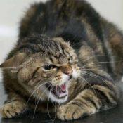 Симптомы и первые признаки проявления бешенства у кошек