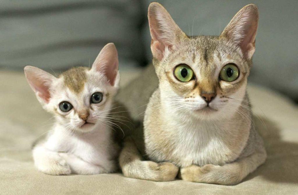 Беременная кошка может внутриутробно заразить котят