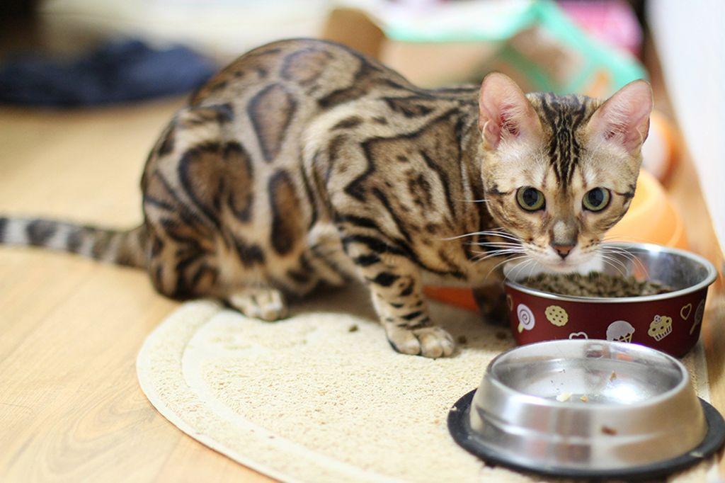 При кормлении сухим кормом у кошки обязательно должно быть достаточно воды
