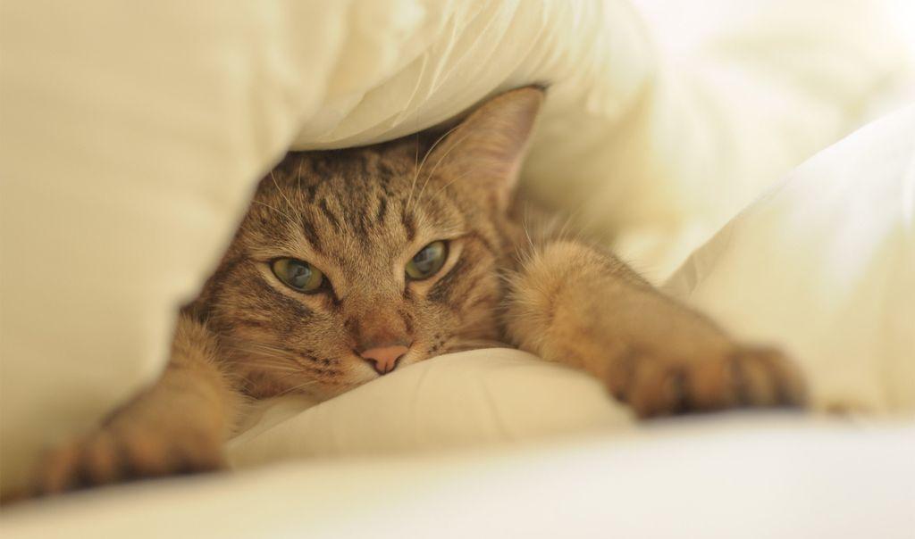 Мнения о допустимости сна кота в кровати хозяина расходятся