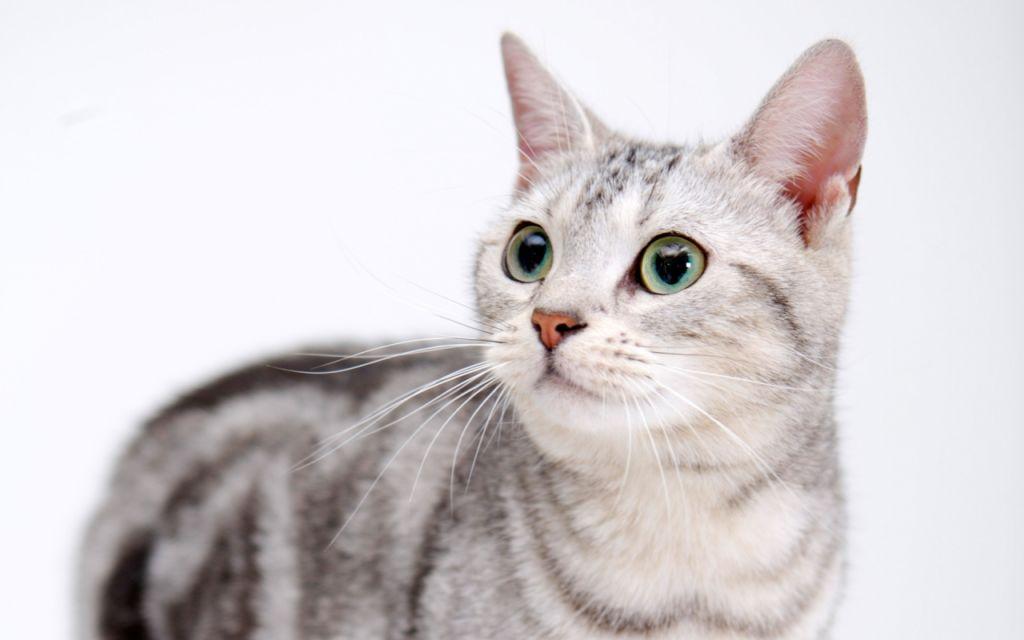 Проблема заражения вшами актуальна для кошек, которые выходят гулять на улицу
