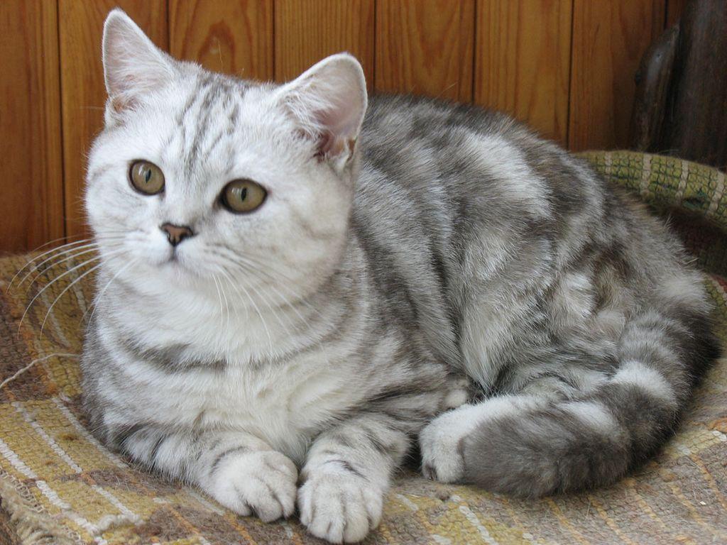 Окрас кошек табби