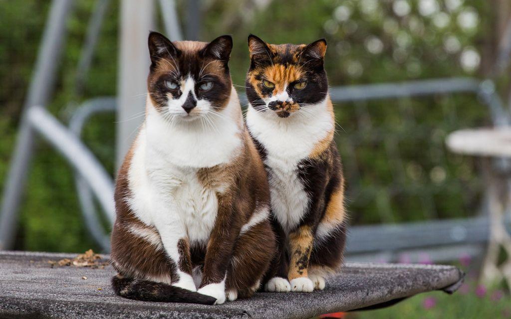 Трехцветные кошки